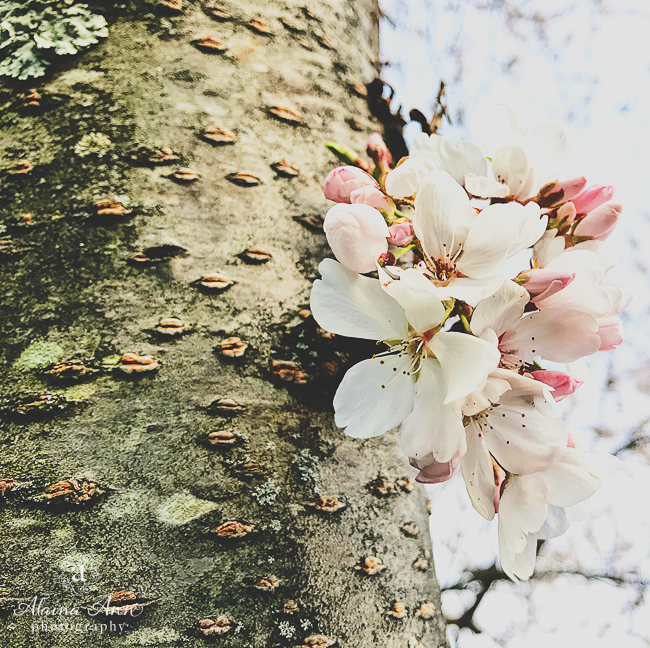 Hometown Cherry Blossoms | Friday Favorite | Alaina Ann Photography
