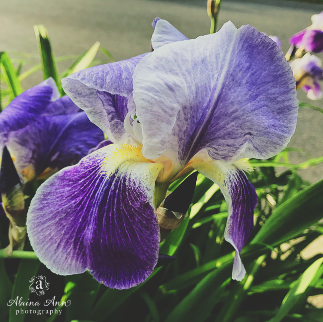 Purple Iris | Friday Favorite | Alaina Ann Photography