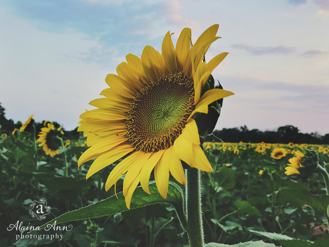 Maryland Sunflowers | Friday Favorite | Alaina Ann Photography