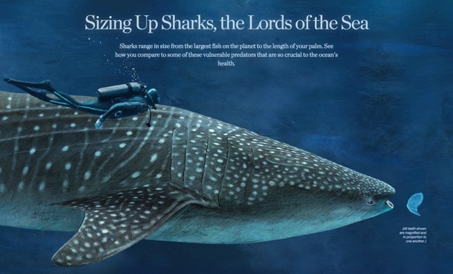 Sizing Up Sharks infographic