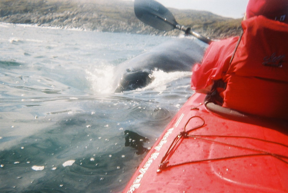 Humpback by kayak at Quirpon Lighthouse Inn.jpg