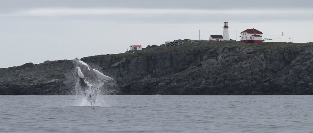 Humpback breaching in front of Quirpon Lighthouse Inn.jpg