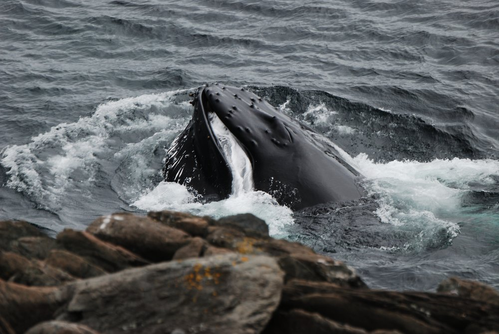 Humpback Feeding by rocks.jpg