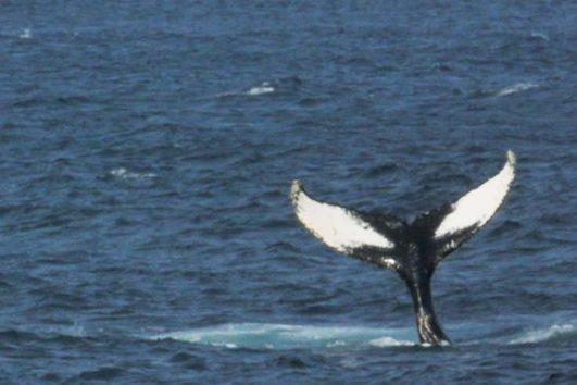 Whale-tail-2-1140x760-1-531x354.jpg