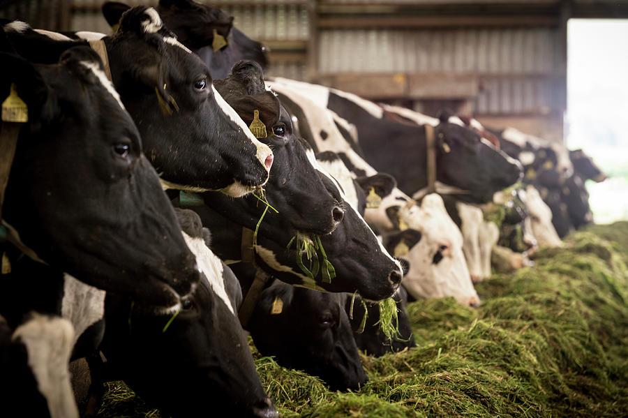 Abbey Nuhn-Pearson - cows eating.jpg