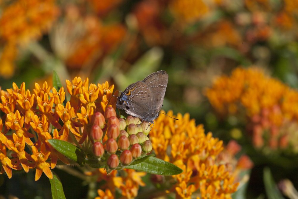 schneider_blue_fruit_hairstreak2.jpg