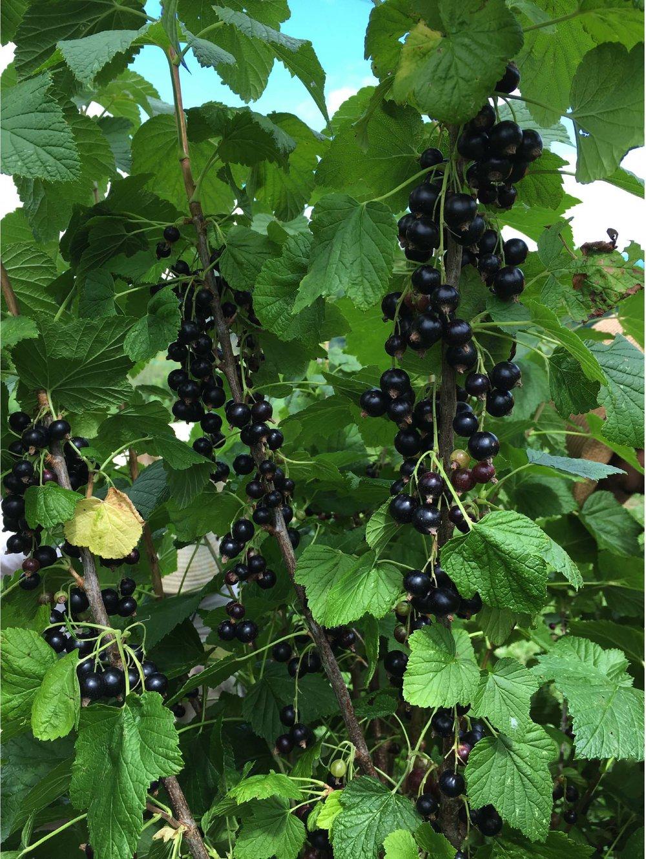 black currants.jpg