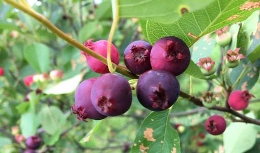 Juneberry2.jpg