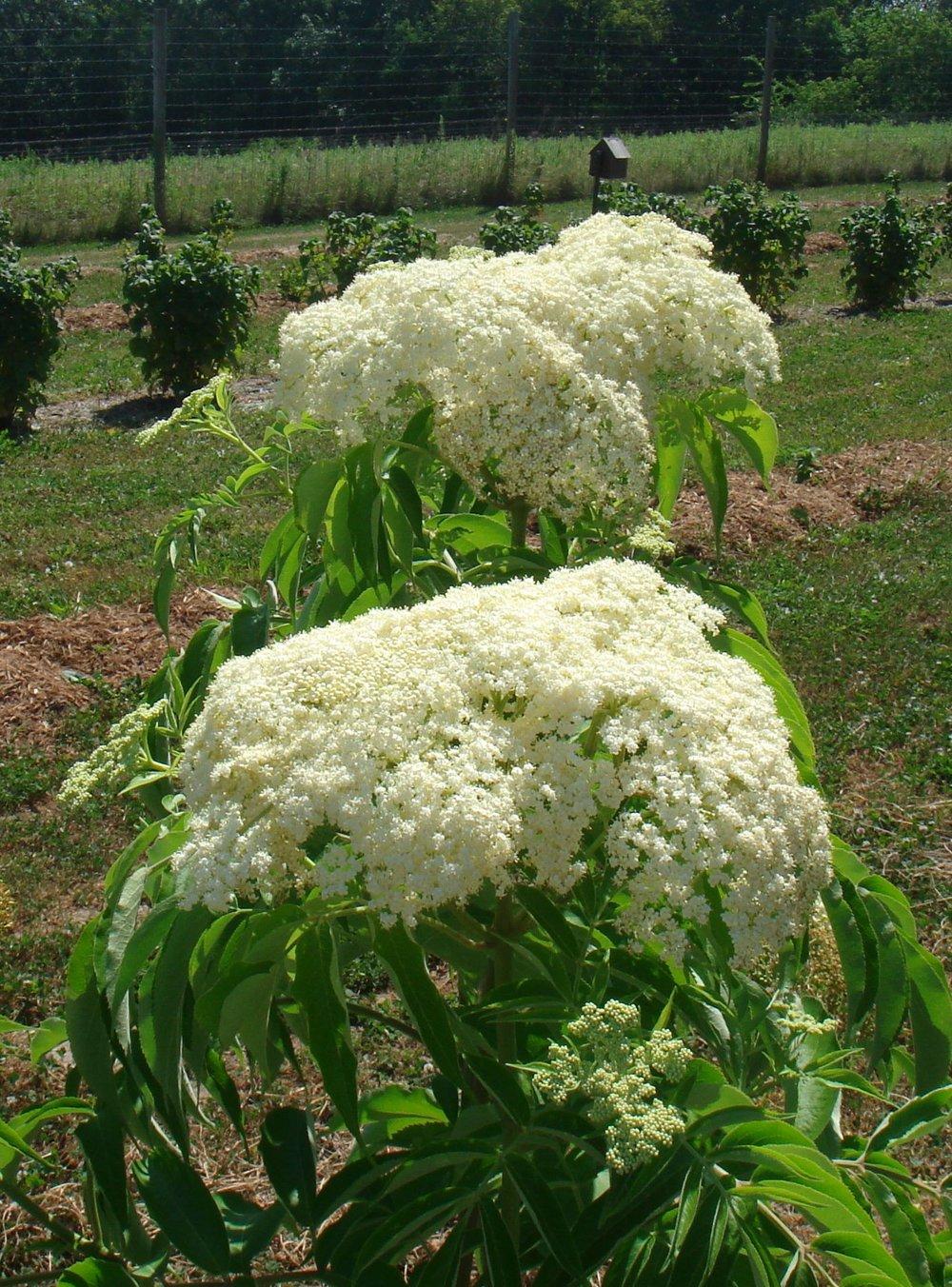 EB blooming 2012.jpg