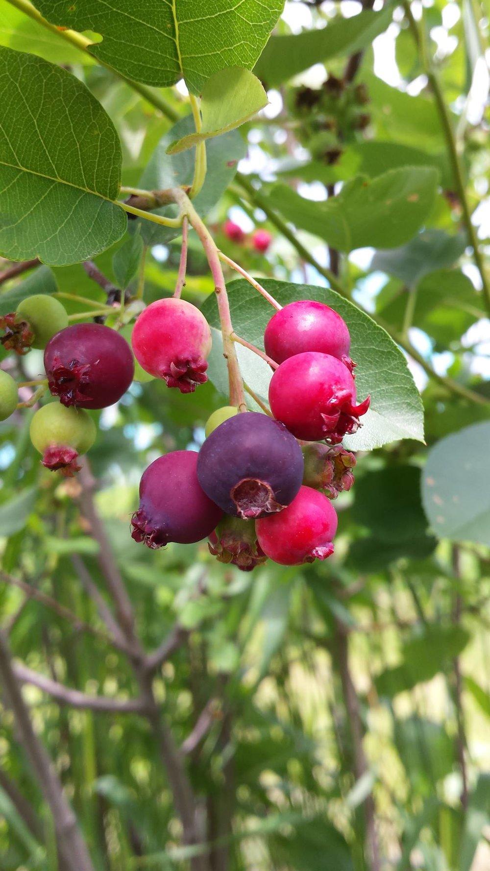 Juneberry.jpg
