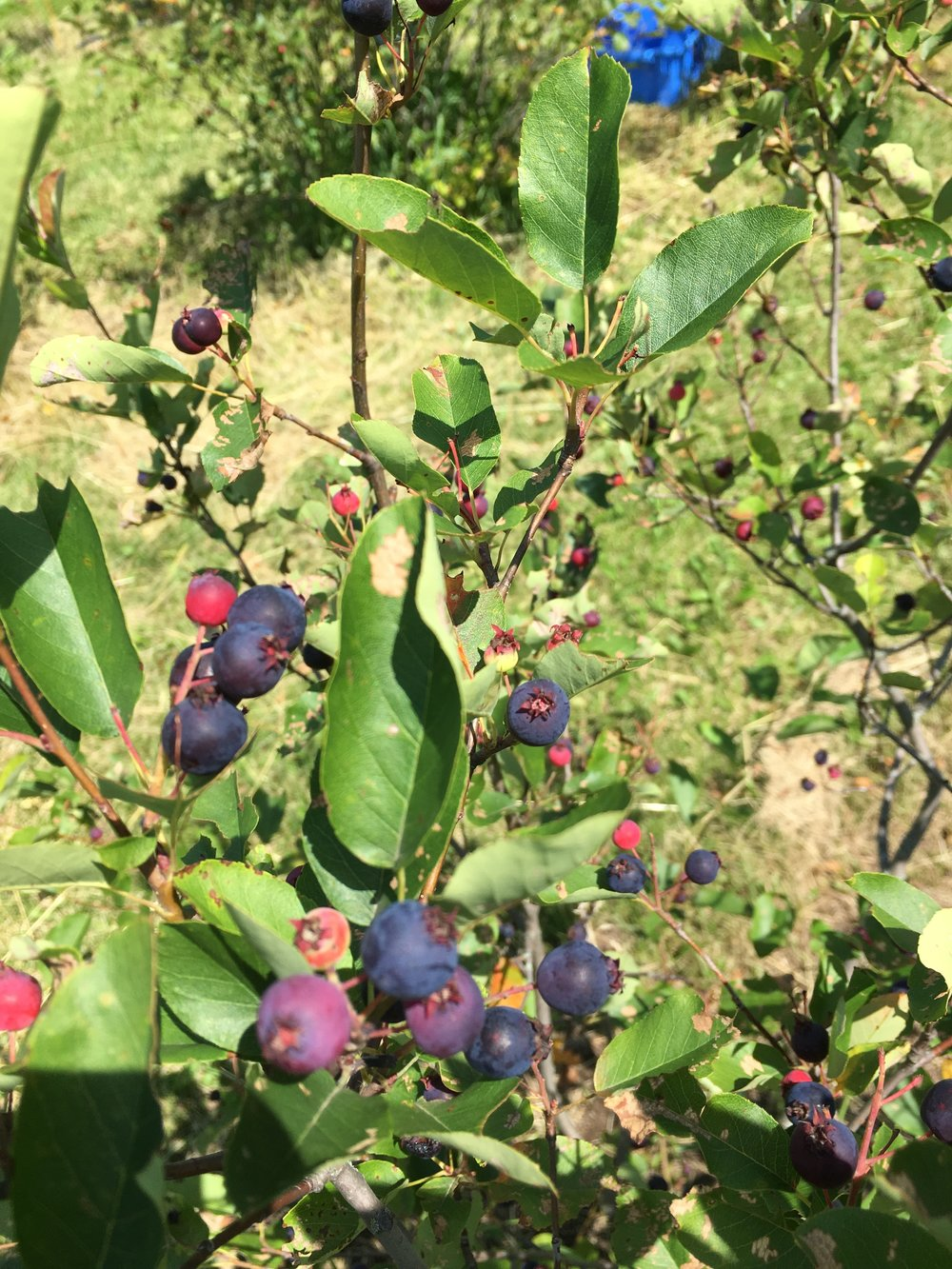 Ripe Juneberries on Bush.JPG