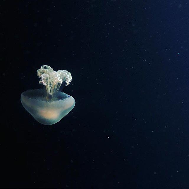#jellyfish #tenerife #puertodelacruz