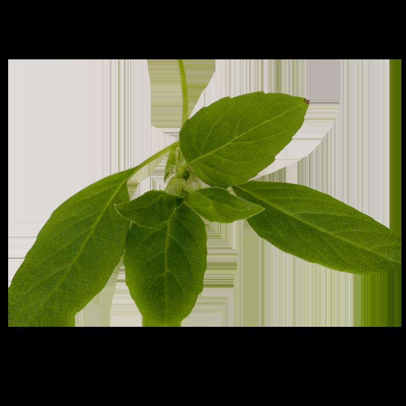 Limone basilicum