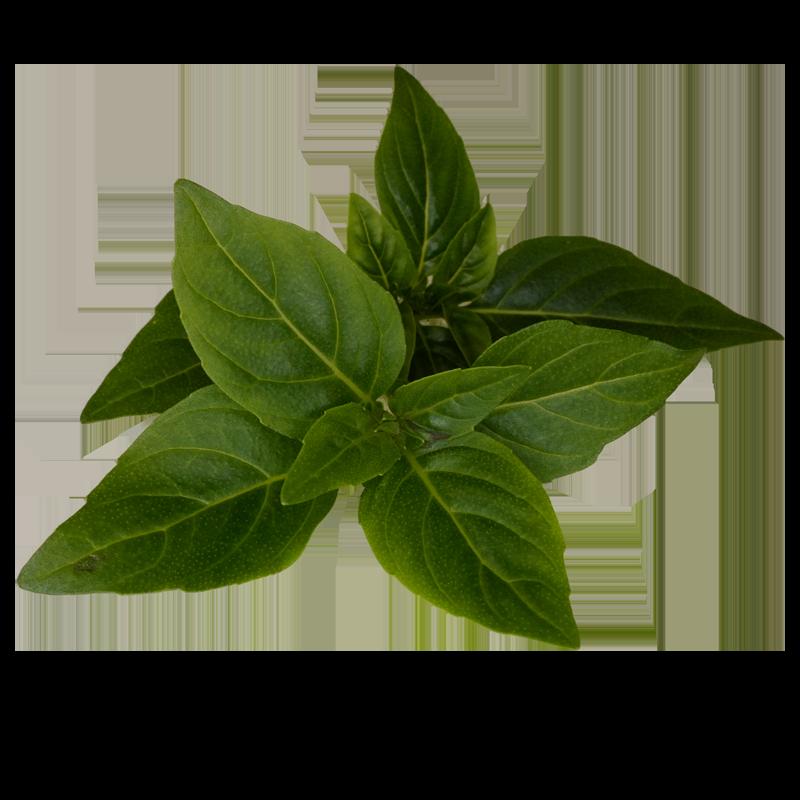 kruidnagelbasilicum.png
