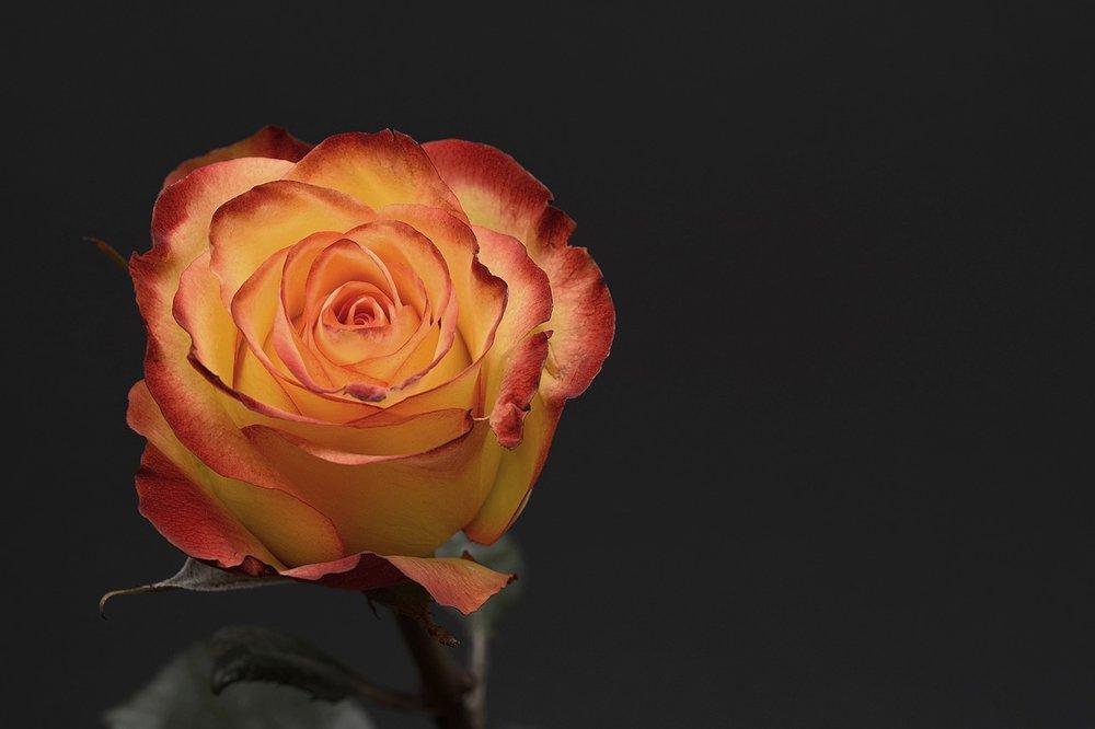 Rosa de la Paz - 6 €