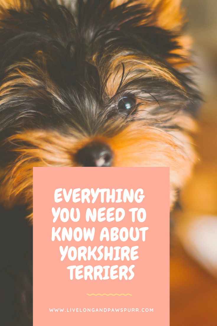 Everything you need to know about Yorkshire Terriers!