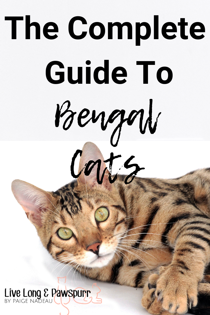 """Everything You Need to Know About Bengal Cats"""" class="""