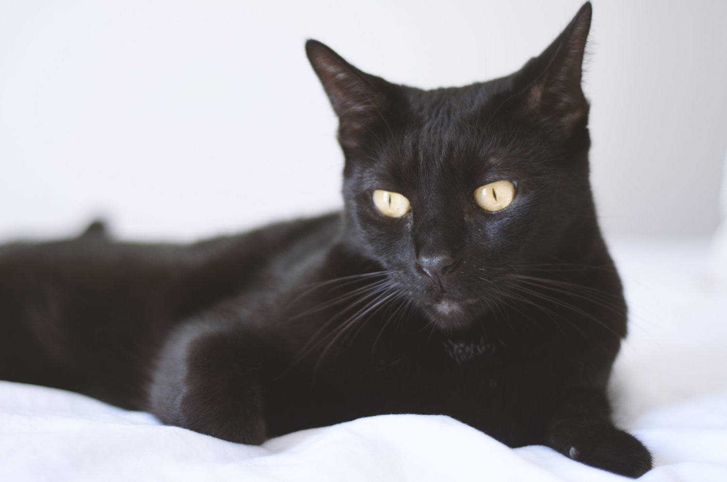 Everything You Need to Know About Bombay Cats — Live Long