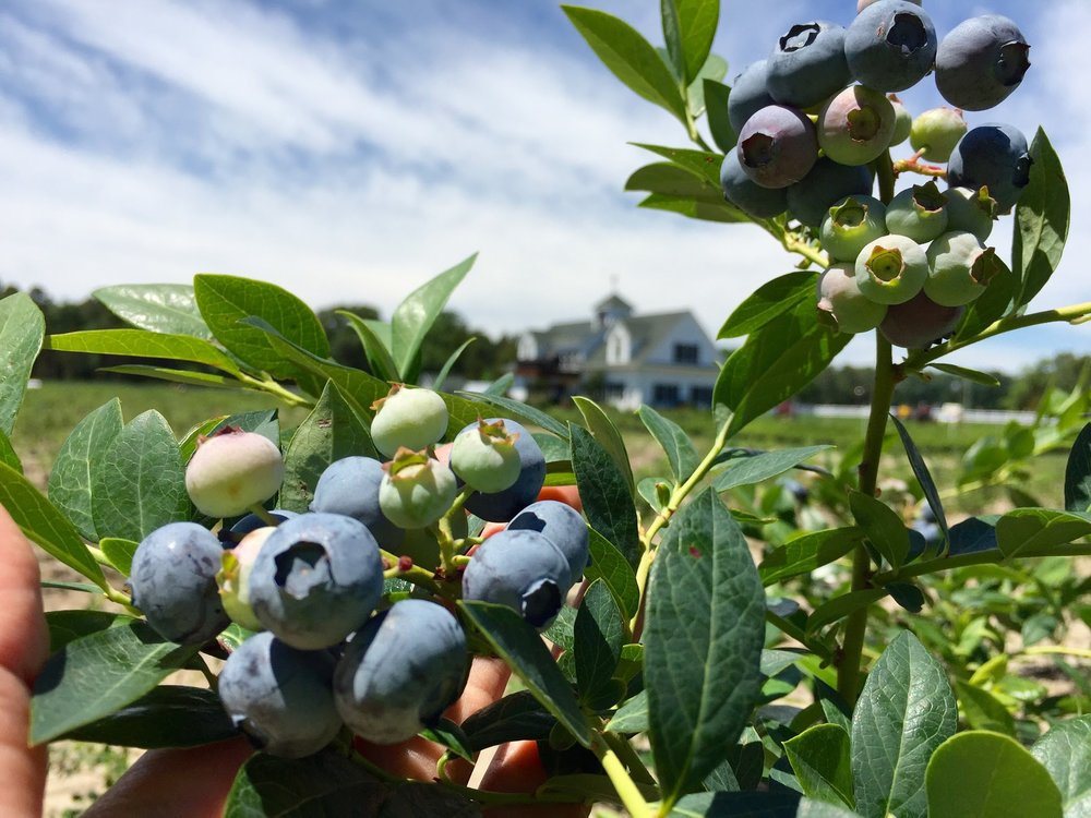 Blueberries Nutrition & Health Benfits DiMeo Farms.jpeg