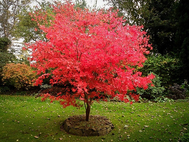 japanese-maple-osakazuki-2.jpg
