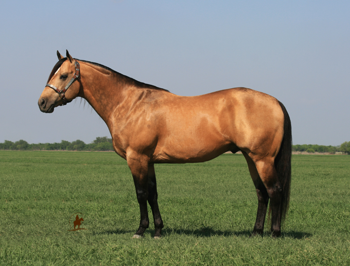 Our Stallions - Bucks Hancock Dude