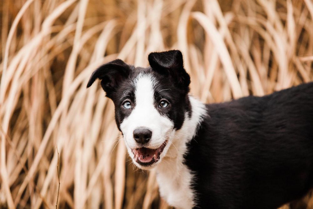 cute border collie puppy_005.jpg