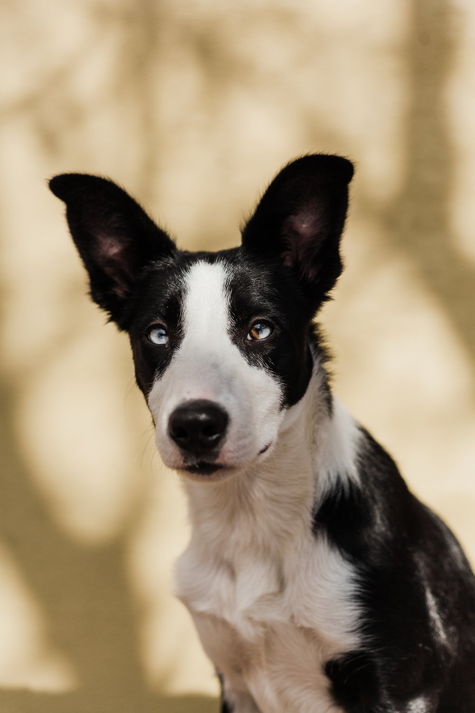 cute border collie puppy_010.jpg