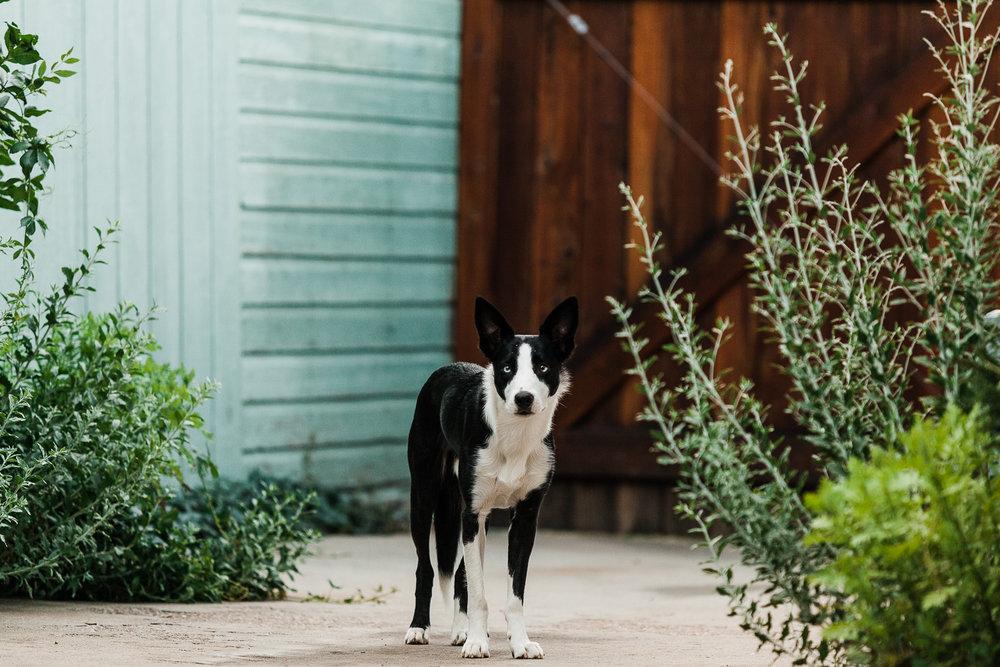 cute border collie puppy_014.jpg