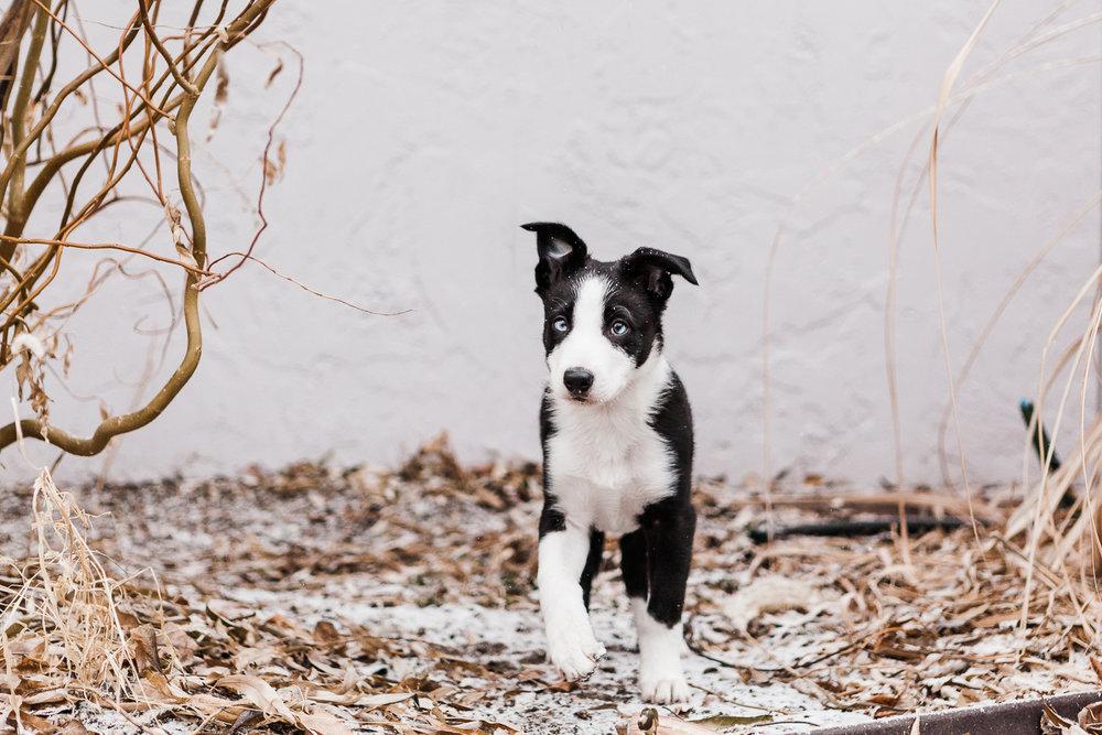 cute border collie puppy_003.jpg
