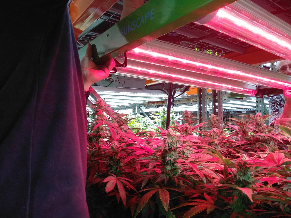 plant heightCR.jpg