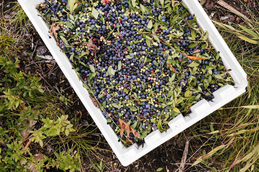 Blueberry harvesting photo by    Allagash Brewing