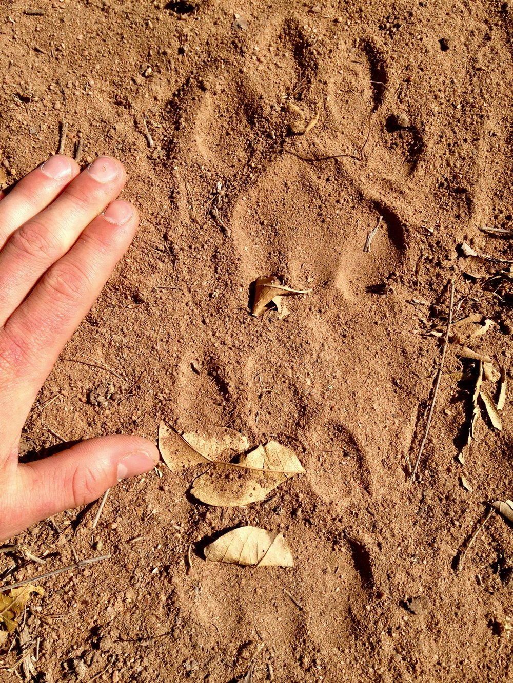 lion track.jpeg