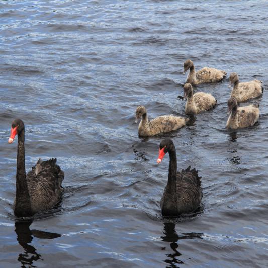 Black Swan Family 2.jpg