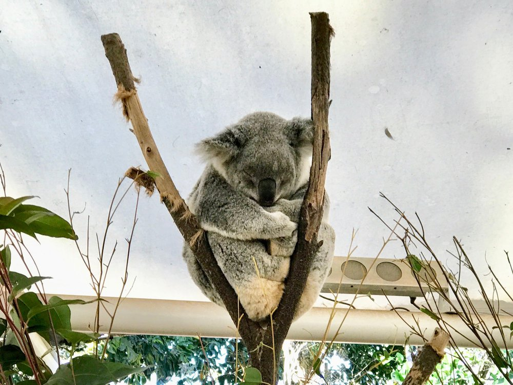 The Sanctuary has several open pens where you can view koalas, who are typically sleeping.