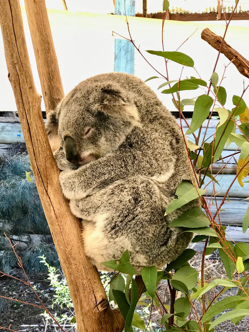You can't touch the koalas while they are in their pens, but there are scheduled times throughout the day where you can hold one for a good photo opportunity.