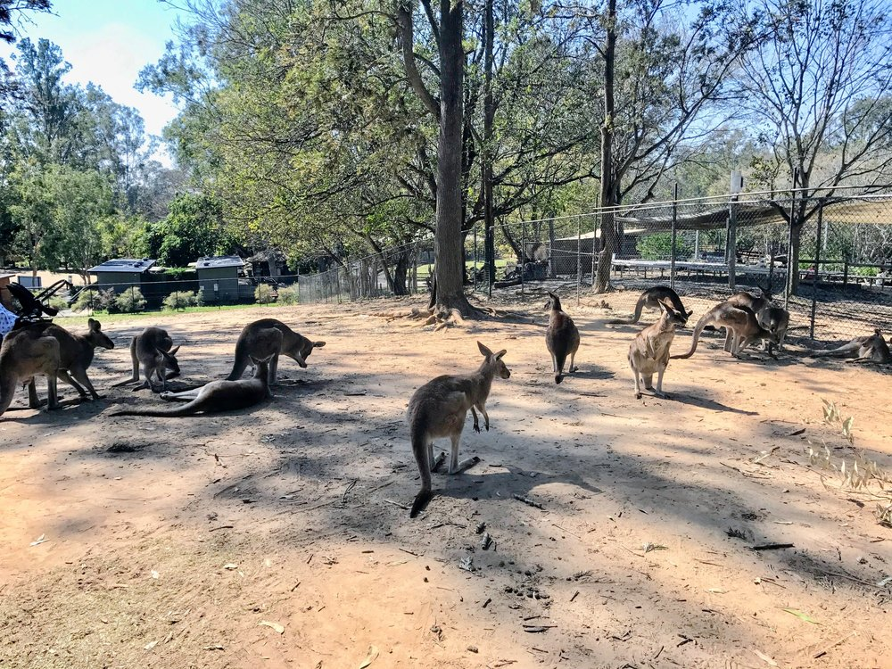 The kangaroo pen is an open area where you can interact with the kangaroos. Food is available for purchase.