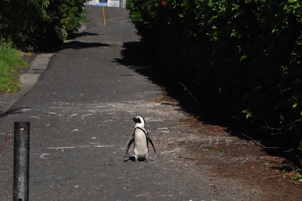An African Penguin walking back to the water after an excursion into town.