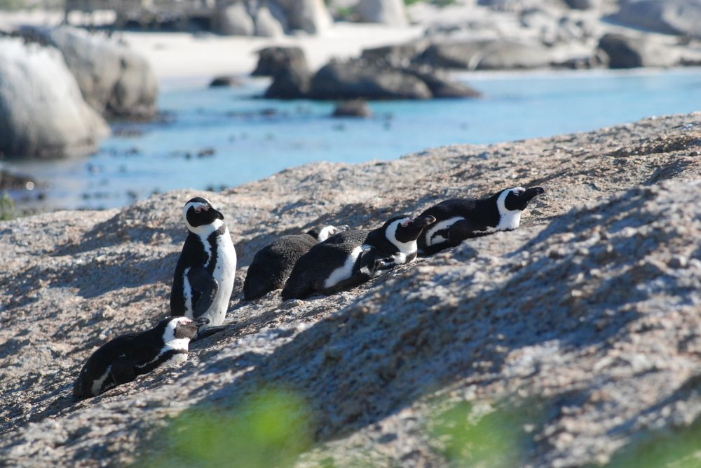Temperatures in the Western Cape are relatively moderate, but still warmer than typical penguin species can handle. The African Penguin has evolved to deal with temperatures around 70ºF/20ºC.