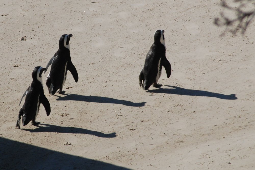 Three penguins leaving the beach.