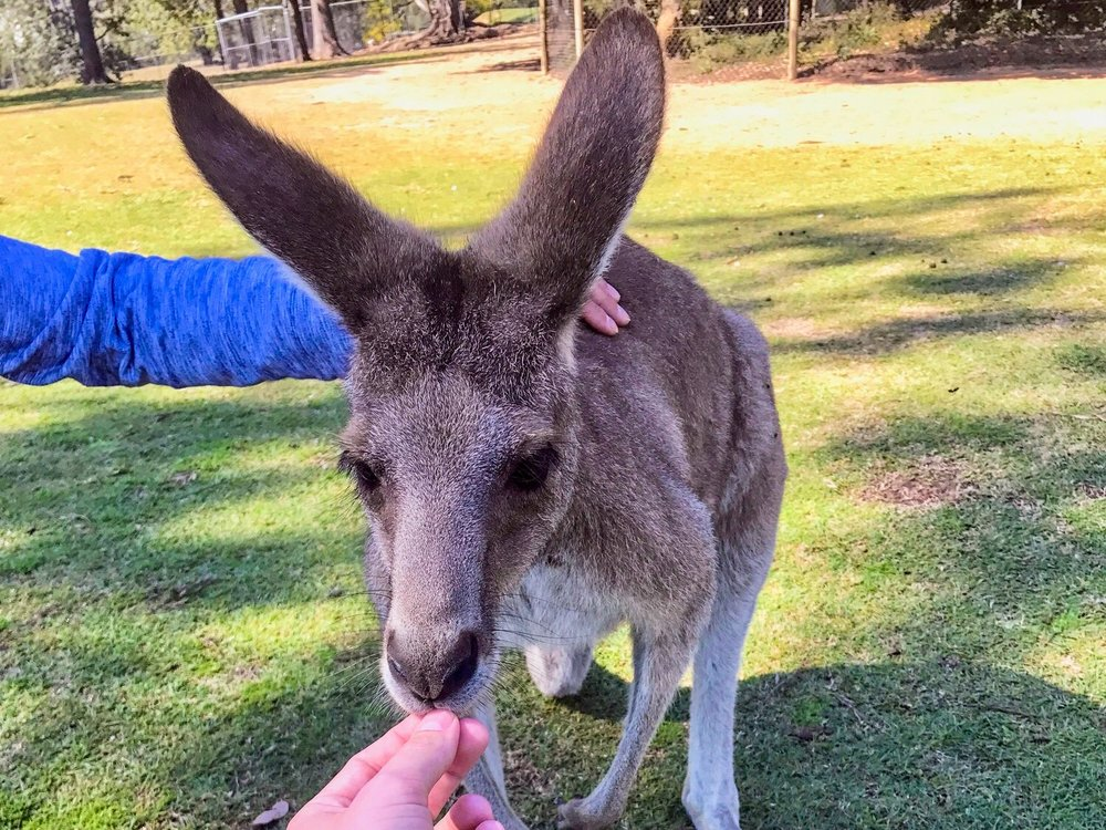 LONE PINE KOALA SANCTUARY - Hold koalas, feed kangaroos, and see other animals native to the Outback