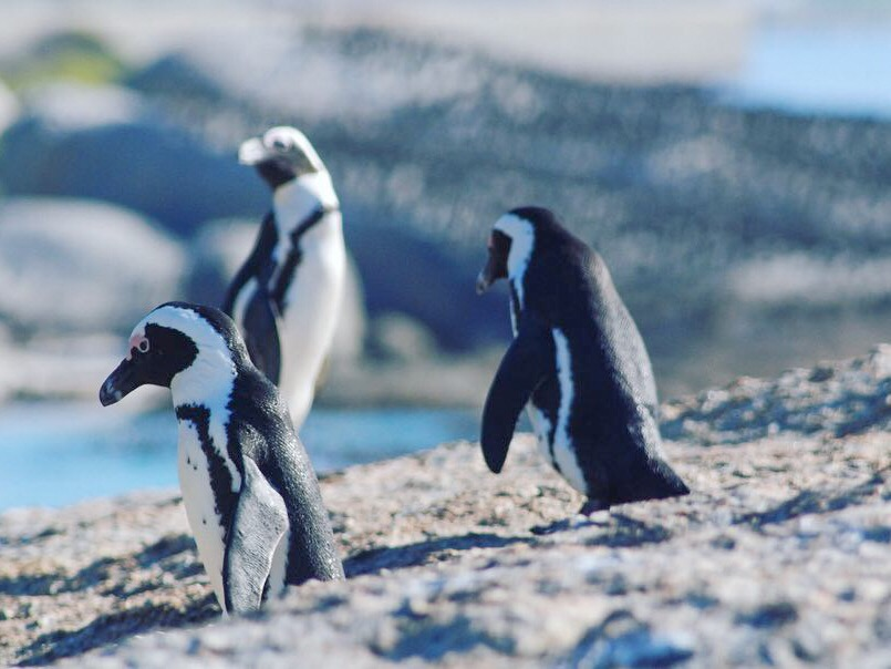 AFRICAN PENGUINS - Visit a wild colony of more than 4 million African Penguins