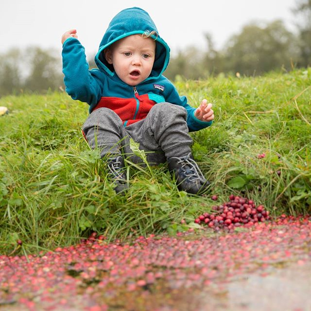 Cranberries AND Babies? Did that get your attention? We took a little social media break, but we're back in time for harvest! Did you miss us? 📸:@richcrowder #weknowyoumissedus #cranberries #organicfarming #bog #harvest #bogsocial