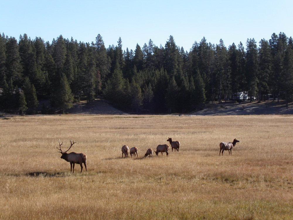 Elk_in_Yellowstone_-_panoramio.jpg