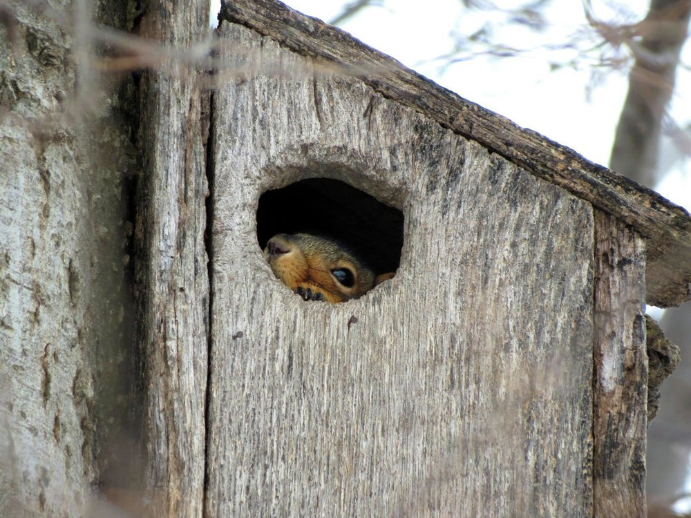 Do the cold temperatures have you hiding out? This squirrel at Morris Wetland Management District in Minnesota sure was! Photo by Alex Galt/USFWS taken in January of 2016