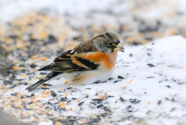 A shot of the brambling at the Shroyer family home this week. (Photo courtesy of Wayne Perala)