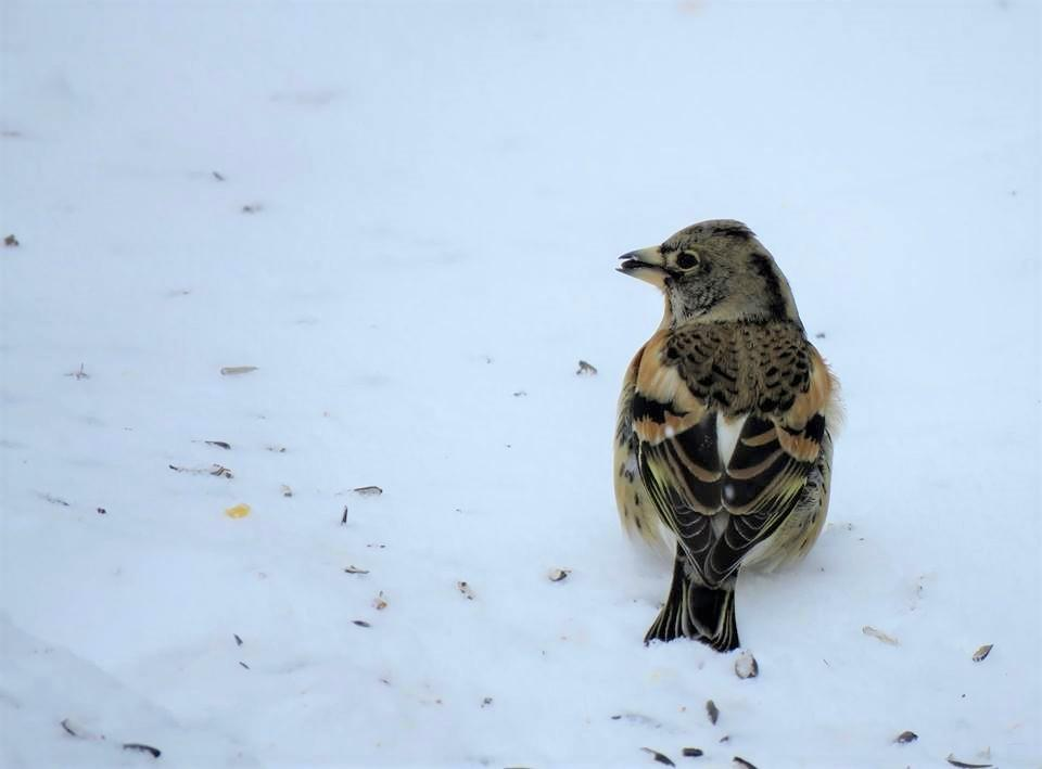 Brambling sightings are extremely rare in the Midwest. Here, you can see the unique coloring on the finch's back. (Photo courtesy of Nancy Henke)