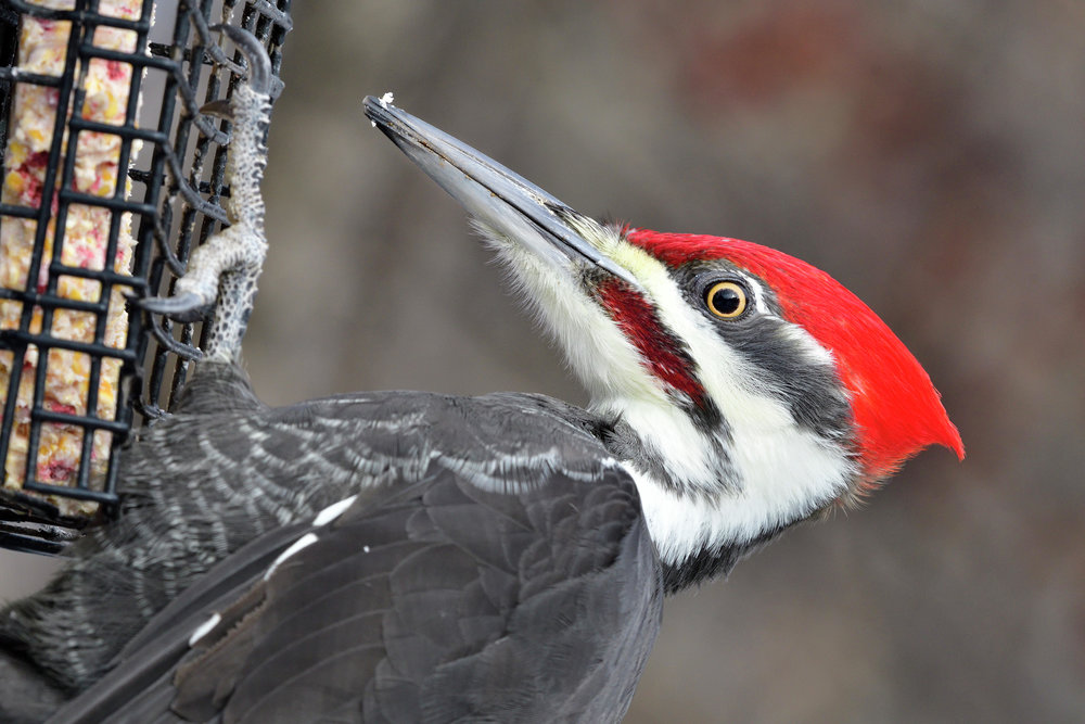 Suet will attract a variety of birds, like this male pileated woodpecker. A wire basket prevents mammals from stealing the suet.