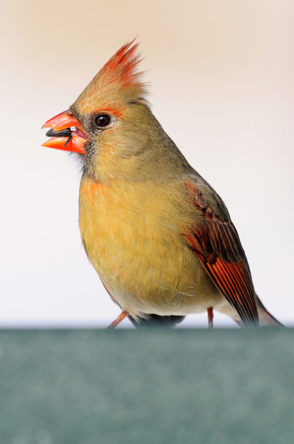 A northern cardinal female is feeding on sunflower seeds from an open plaform feeder. Sunflower seeds attract a considerable number of songbirds.