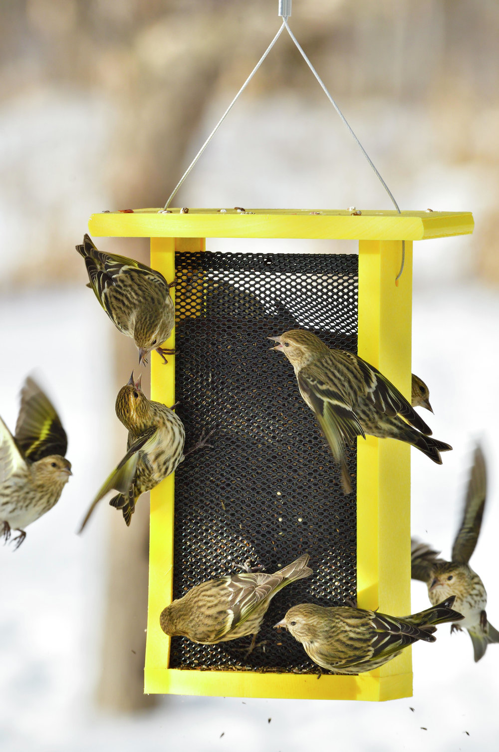 A group of hungry pine siskins gather food from a feeder designed especially for dispensing thistle seed. The feeder is also deer-proof. Siskins are especially common this winter.