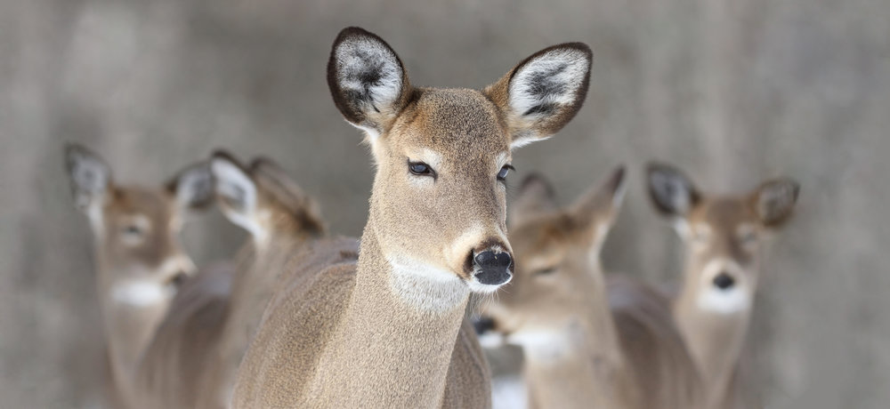 White tail deer are expected to multiply fast as Minnesota's climate alters. Warmer winters means less snow, which means they will be able to forage for food more easily. Forum News Service file photo